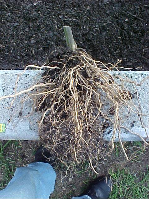 betterboy_tomato_plant_roots_01