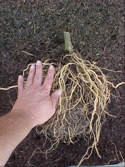 betterboy_tomato_plant_roots_04