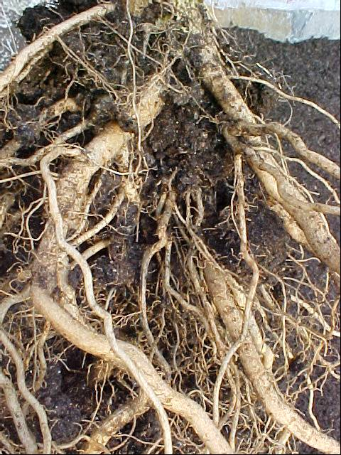 betterboy_tomato_plant_roots_05