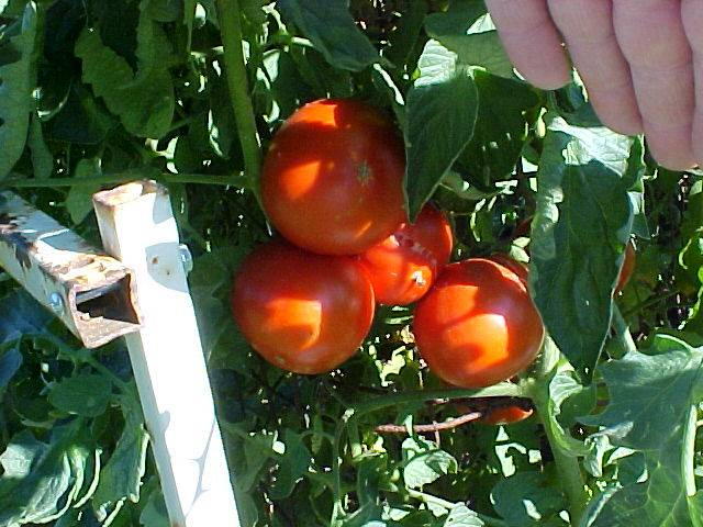 cluster_ripe_betterboy_tomatoes_01