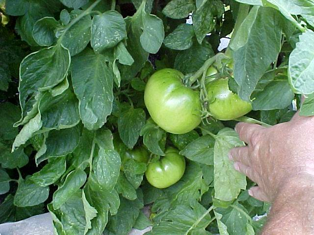 growing_betterboy_tomatoes_02