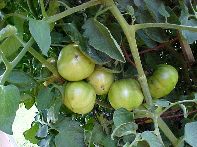 growing_betterboy_tomatoes_03