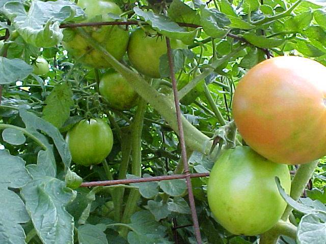 growing_betterboy_tomatoes_04