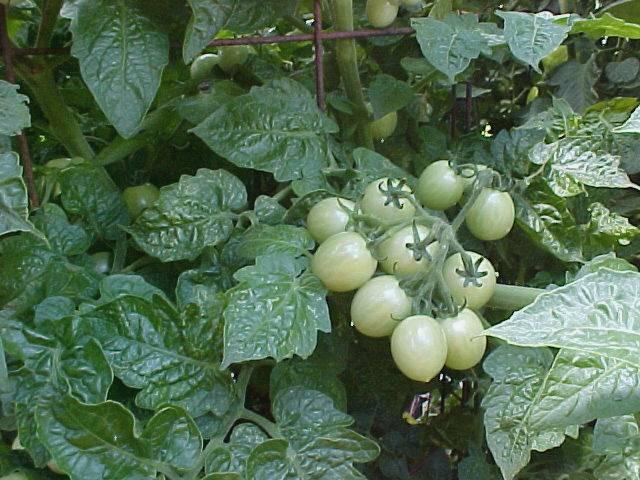 growing_cherry_tomatoes_01