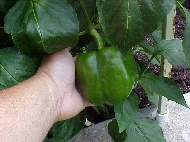 mature_bell_peppers_01