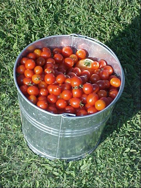 picking_cherry_and_betterboy_tomatoes