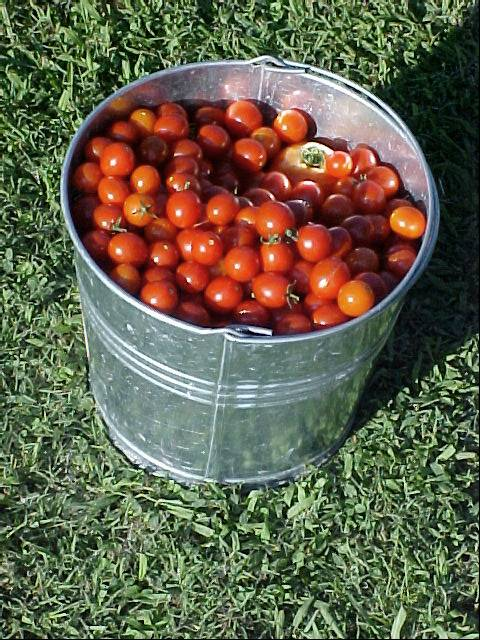 picking_cherry_and_betterboy_tomatoes_02
