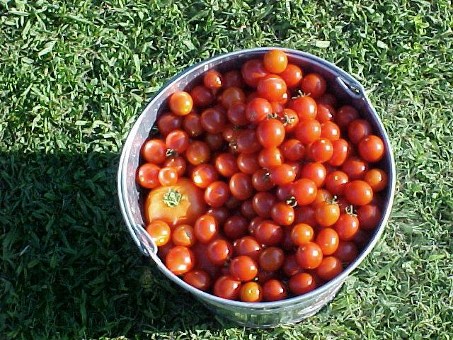 picking_cherry_and_betterboy_tomatoes_03
