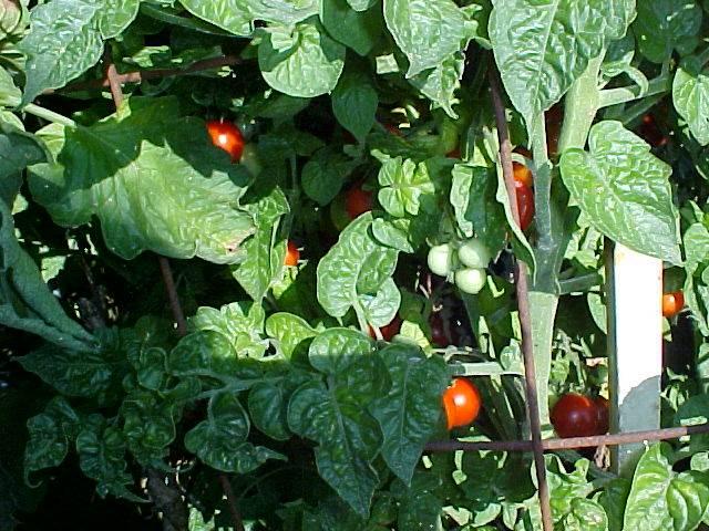 ripe_cherry_tomatoes_02