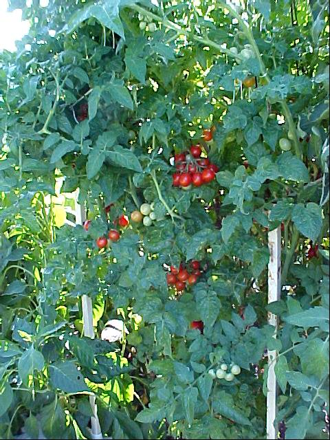 ripe_cherry_tomatoes_04