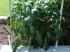 3ft_bell_pepper_plants_02