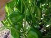 3ft_bell_pepper_plants_03