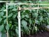 4ft_bell_pepper_plants_01