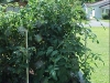 5ft_betterboy_tomato_plants02