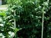 5ft_cherry_tomato_plants_01