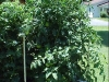 6ft_betterboy_tomato_plants01