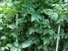7ft_cherry_tomato_plants_01