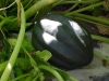 acorn_squash_growing_01