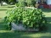 acorn_squash_overgrowing_garden_01