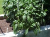 almost_4ft_bell_pepper_plants_01