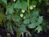 cherry_tomato_clusters_01