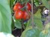 cherry_tomato_clusters_03