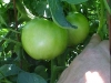 green_betterboy_tomatoes_03