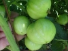 green_betterboy_tomatoes_05