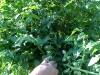 green_cherry_tomatoes_01