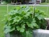 growing_acorn_squach_plants_01