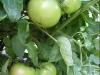 growing_betterboy_tomatoes_05