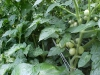 growing_cherry_tomatoes_02