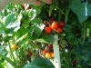 ripe_cherry_tomatoes_06