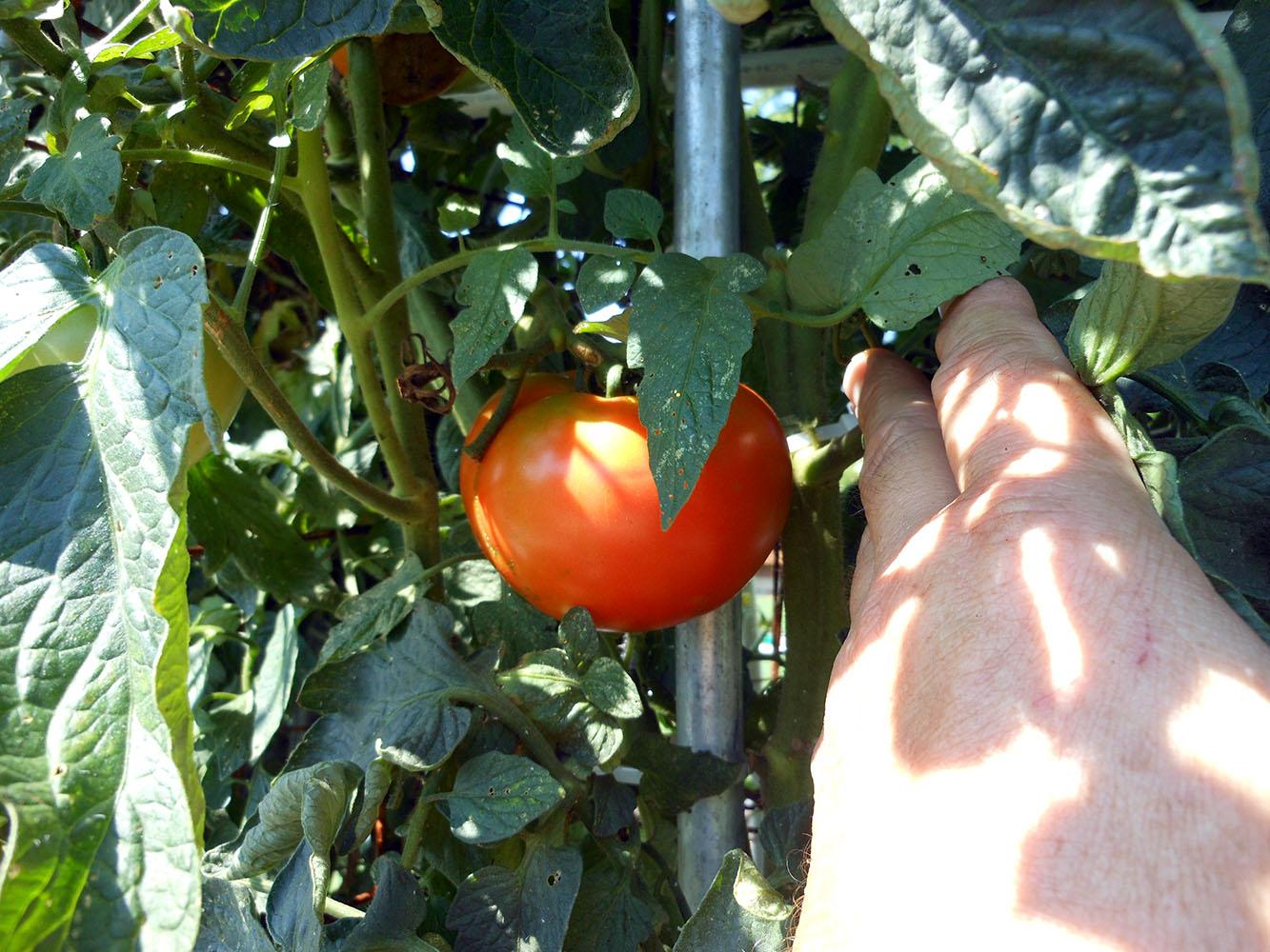 07-30-2016-Tomato-Plants-St-Pauls-S-08