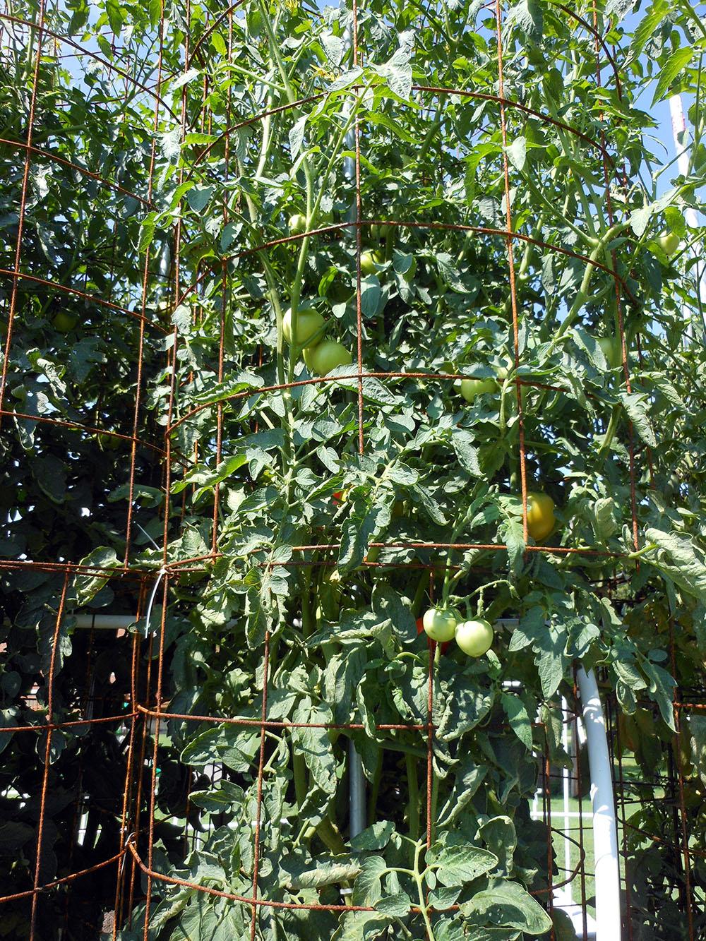 07-30-2016-Tomato-Plants-St-Pauls-S-09