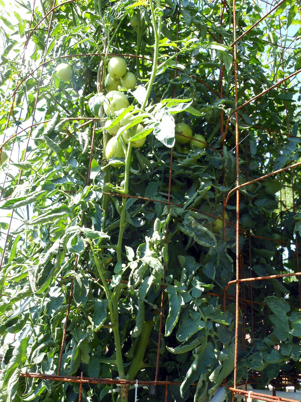 07-30-2016-Tomato-Plants-St-Pauls-S-12