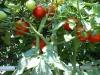 07-30-2016-Tomato-Plants-St-Pauls-S-05
