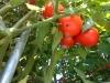 07-30-2016-Tomato-Plants-St-Pauls-S-06