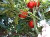 07-30-2016-Tomato-Plants-St-Pauls-S-07