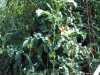 07-30-2016-Tomato-Plants-St-Pauls-S-13