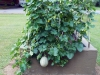 08-04-2016 Cantaloupe Plant 01