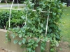 08-04-2016 Cantaloupe Plant 02
