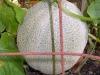 08-04-2016-Cantaloupe-Plant-08
