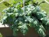 06-11-2017 Giant Kale 01
