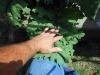 06-11-2017 Giant Kale 02