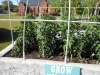 May 07 2017 Church Tomato Plants 02