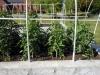May 07 2017 Church Tomato Plants 03