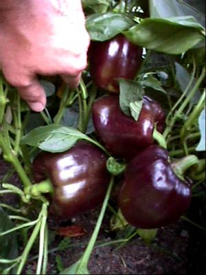bell-peppers-black-beauties-08