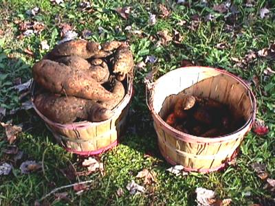 sweetpotatoes-08
