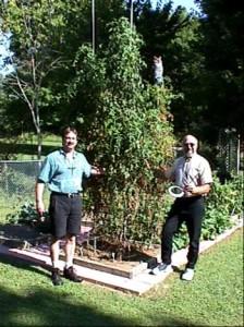 Grow BIG tomatoe plants